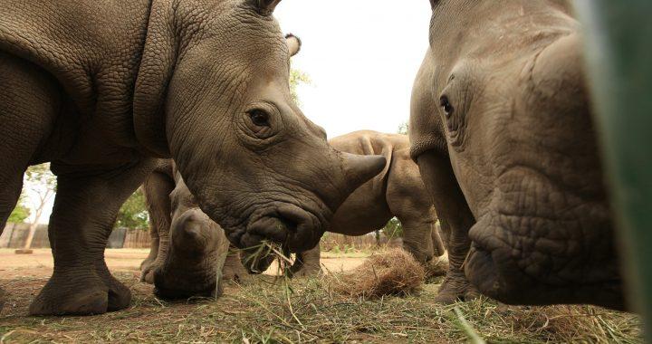 National Geographic estrena documentales por Día Mundial del Rinoceronte
