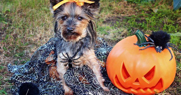Halloween 2020: Consejos que debes tener en cuenta para disfrazar a tu mascota